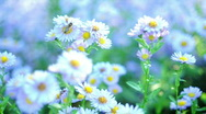 White chamomile & Bee Stock Footage