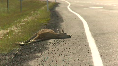 Deer, road kill, #2 Stock Footage