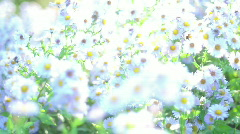 White chamomile & Bee - stock footage