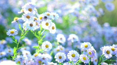 Stock Video Footage of Wonderful white chamomile