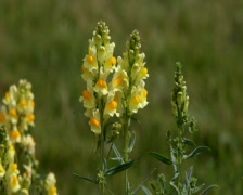 Antirrhinum majus and bumblebee fly out Stock Footage