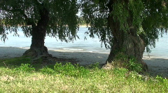 Two beautiful willows on the river bank  Stock Footage