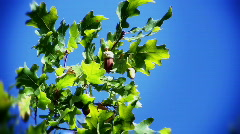 Beautiful branch of oak and acorns Stock Footage