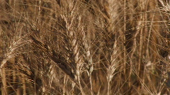 Ripe Wheat Heads Stock Footage