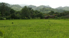 Thailand: Rice Field Stock Footage