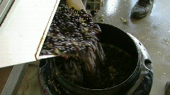 Winery grapes crush 3 Stock Footage