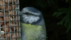 Blue tit on nut feeder Stock Footage