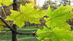 Autumn leafs 19  Stock Footage