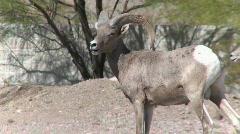 Big Horn Sheep wander near homes Stock Footage