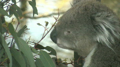 Close up of koala eating eucalyptus leaves Stock Footage