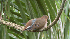 Turtle Dove on branch Stock Footage