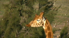 Close up of girafe eating water oak branches Stock Footage