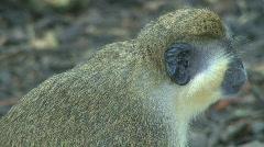 Green Monkeys (6 of 9) Stock Footage