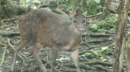 Red Brocket Deer (3 of 3) Stock Footage