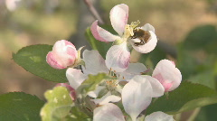 Apple blossom pollinated by a bee  Stock Footage