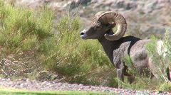 Big Horn Sheep Ram (1 of 7) Stock Footage