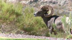 Big Horn Sheep Ram (1 of 7) - stock footage
