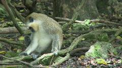 Green Monkeys (8 of 9) Stock Footage