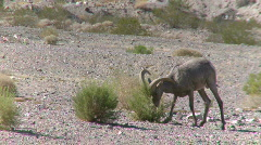 Big Horn Sheep Ram (7 of 7) Stock Footage