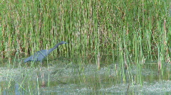 Little Blue Heron (2 of 3) Stock Footage