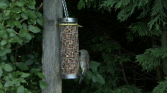 Sparrow on nut feeder Stock Footage
