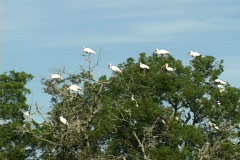 White Ibis In Tree - stock footage