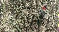Wood Pecker on Tree Trunk Footage