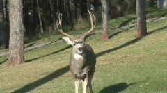 P00674 Deer in Urban Area Stock Footage