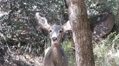 Young Mule Deer Stock Footage