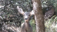 Stock Video Footage of Young Mule Deer