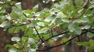Stock Video Footage of Aspen green leaves and branches swaying in the wind after the rain