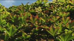 Fall vine-leaf Stock Footage