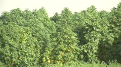 Marijuana growing in a field (hd) c Stock Footage