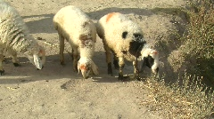 Sheep grazing in Afghanistan Stock Footage