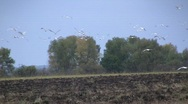 Disturbed gulls flying over ploughed field Stock Footage