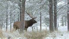 P00681 Trophy Bull Elk in Winter Scene Stock Footage