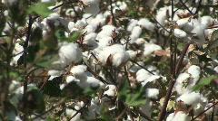 Cotton Crop - stock footage