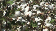 Stock Video Footage of Cotton Crop