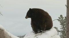 P00686 Bear on Snag Stock Footage