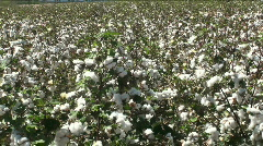Cotton Blooming Fields Stock Footage