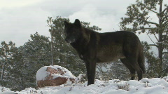 P00692 Black and Gray Wolf on Ridge Stock Footage