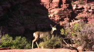 Stock Video Footage of Canyonlands 13 Deer