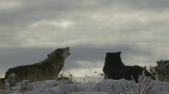 P00693 Wolf Pack Howling in Winter Against Gray Sky - stock footage