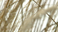 Moving heads of wheat grain with sky in background Stock Footage