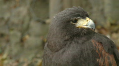 Close up portrait of a wild screaming hawk Stock Footage