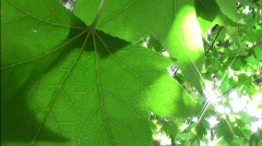 Leaf against the sun Stock Footage