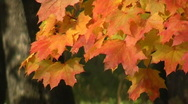 Stock Video Footage of Autumn maple leaves in the breeze