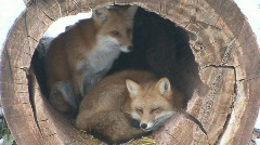 P00695 Red Foxes in Hollow Log - stock footage