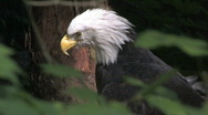 Stock Video Footage of Bald Eagle looks around 8
