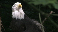 Bald Eagle looks around 9 Stock Footage